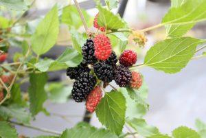Mulberry's Secret – comentarios – composición – ingredientes – como tomarlo